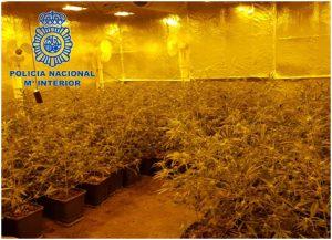 Plantació Marihuana i 26 detinguts