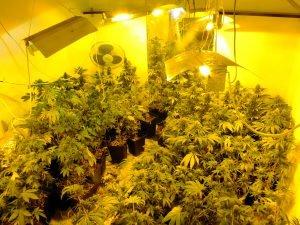 Plantació de Marihuana Pis de Sants
