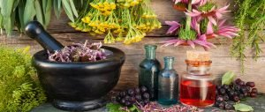 Plantes medicinals Boldo