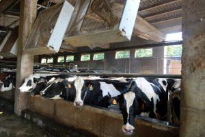 vaques amb ventiladors