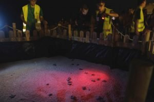 naixement tortugues babaues - Mataró