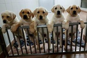La Fundació ONCE del Gos Guia celebra els seus 30 anys amb 189 gossos pigall a Catalunya
