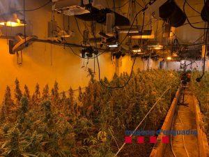 Desmantellen un cultiu de marihuana amb més de 1.000 plantes en una nau industrial de Vilassar de Dalt