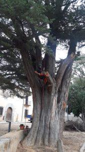 Medi Ambient fa tasques de revitalització del cuprés de can Figueres