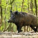 La Societat de Caçadors d'Alella té previst fer una batuda de porc senglar el 24 de febrer