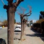 Un centenar d'arbres morts seran substituïts al Pla de l'Avellà de Cabrera de Mar