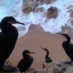 L'Ajuntament de Calella prohibeix la pesca esportiva a la Roca Grossa per protegir al corb marí emplomallat