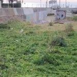 Els alocs plantats a la Riera de Vilassar segueixen el seu ritme de creixement