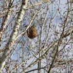 Detecten la presència de vespes asiàtiques a Teià