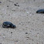 Neixen les primeres tortuguetes del niu de la platja d'Arenys